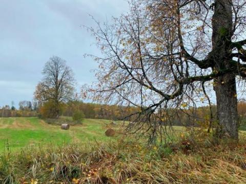 Ķepenu kalns, Liepas no kādreizājās Katrīnas muižas kapličas alejas. Kapličas vieta pie fotogrāfijā tālākā koka. 2020.g. septembris.