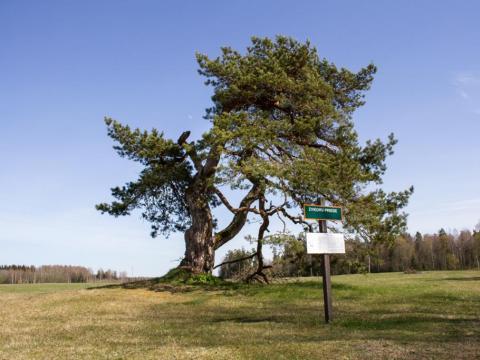 Zaķu Zviedru priede. Vaidavas pagasts. 2020.g. 1.maijs. V.Grīviņa foto.